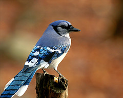 Blue Jay 25 (Cyanocitta cristata ) (egdc211) Tags: bird aves bluejay cyanocittacristata birdwatcher backyardbirding