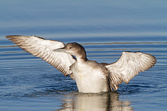 Great Northern Diver (Andrew Haynes Wildlife Images) Tags: