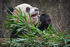 Try Not To Over Eat This Holiday Season (Culture Shlock) Tags: china travel snow animal animals panda bears eat feed giantpanda