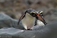Fiordland Crested Penguin (NZSam) Tags: penguin littlestories tawaki fiordlandcrestedpenguin picswithsoul