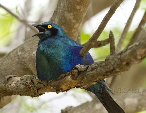 Greater Blue-eared Starling calling_9385