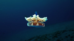 Jellyfish (Alexandra Pelletier Harati) Tags: blue fish island bay shot egypt diving alexandra stephan sinai pelletier in harati farun