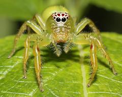 Female Green Jumping Spider - Mopsus mormon (Jenny Thynne) Tags: spider australia brisbane queensland mormon salticidae araneidae greenjumpingspider mopsus