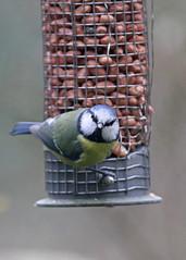 I will get one! (Steve Lane - Birds and Wildlife) Tags: gardenbirds hertfordshirebirds