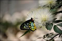 GATHERING POLLEN, NEW VIEW (susies.genii) Tags: magicwings cairnsbirdwing wingsclosed powderpuffflower southdeerfieldma bokehbackground malecairnsbirdwing february72014 perchedonblossom