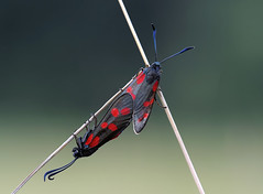 Zygaena filipendulae (~Simmy~) Tags: macro nature closeup germany insect outdoors deutschland tiere photo nikon sommer wildlife natur paar butterflies insects lepidoptera makroaufnahme makro insekt macroshot nahaufnahme tier insekten schmetterlinge schmetterling morgens macrophoto butterlfy holdon macrophotography paarung tierbild tierfoto widderchen morgenlicht nachtfalter zygaenidae sixspotburnet zygaenafilipendulae burnetmoth pterygota sechsfleckwidderchen naturfotografie animalpicture makrofoto neoptera naturfoto animalphoto aussenaufnahme sigma150mm imfreien specanimal fluginsekt siton makrofotografie blutstrpfchen neuflgler beinside ou