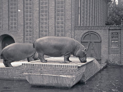 Flusspferde (planetvielfalt) Tags: zooleipzig artiodactyla hippopotamidae suina certosl110 vomnegativ