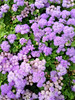 "Ageratum • <a style=""font-size:0.8em;"" href=""http://www.flickr.com/photos/101656099@N05/14130977861/"" target=""_blank"">View on Flickr</a>"