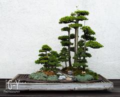 bonsai/penjing (M Greenwald-Yarnell) Tags: tree miniature scene bonsai nationalarboretum penjing
