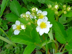 Wild Strawberry Blossoms (RonG58) Tags: pictures new trip travel flowers winter light plants usa plant flower color macro nature fruit geotagged botanical photography us photo strawberry berry day image photos live blossoms maine picture images photograph hana digitalcamera wildflowers exploration lewiston nativeplants photooftheday picoftheday floweringplant fragariavirginiana wildplants commonstrawberry fugifilm virginiastrawberry wildstrawberryblossoms mainewildflowers rong58 finepixhs50exr