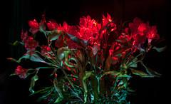 Experimento con astromelias (GMH) Tags: flores luz flor estudio laser florero astromelias exposicionmultiple ltytr2 ltytr1 ltytr3