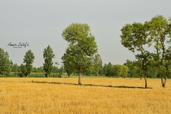Chiniot - Wheat Field