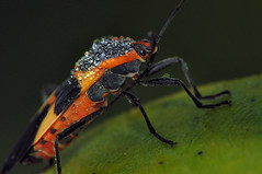 2014 Large Milkweed Bug (Oncopeltus fasciatus) 8 (DrLensCap) Tags: chicago bird robert bug insect point illinois g large il montrose milkweed kramer sanctuary oncopeltus fasciatus