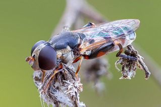 A thick-legged hoverfly