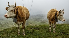 Vacas suizas - Mannlichen (bervaz) Tags: suiza sony 18200 a100 vacas mannlichen 18200mmf3556 dslra100 sal18200