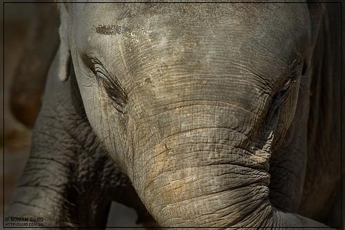 Портрет слоненка