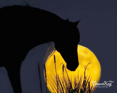 The Horse in the Moon (dkey612) Tags: sky horse moon silhouette yellow night unique full lunar equestrian yucca equine