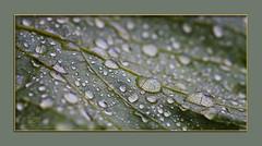 Rain (stefan_burkard) Tags: green rain drop blatt regen tropfen leav gren