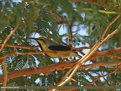 Purple Sunbird (Cinnyris asiaticus) (gilgit2) Tags: pakistan birds animal fauna canon geotagged wings wildlife feathers sigma tags location species category sindh avifauna sigma150500mmf563apodgoshsm imranshah canoneos70d chachro purplesunbirdcinnyrisasiaticus gilgit2