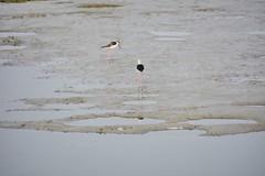 高蹺鴴 (澎湖小雲雀) Tags: himantopushimantopus blackwingedstilt piedstilt 高蹺鴴 黑翅長腳鷸 嘉義縣 commonstilt 布袋鎮 紅腿娘子