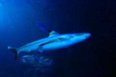 Requin pointe-noire (1) (Mhln) Tags: paris aquarium requin poisson trocadero poissons meduse 2015 cineaqua