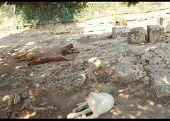 wild dogs napping at the Temple of Heracles (whirling_dervish) Tags: magnagraecia sicily sicilia agrigento valledeitempli akragas templeofheracles provinciadiagrigento regionesiciliana girgenti vaddidilitempri pruvinciadigirgenti
