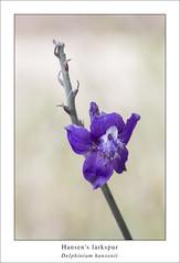 Delphinium hansenii (red_delphinium  AKA Lara hartley AKA redshoe) Tags: blue ranunculaceae kerncounty southernsierra delphiniumhansenii hansenslarkspur southernsierranevadamountains oldkerncanyonroad