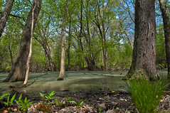 Forest Preserve Swamp (Amazing Backgrounds) Tags: life county blue trees sky plants cloud tree green nature wet water beautiful its grass clouds forest photoshop bug outside outdoors living leaf illinois maple nikon flickr quiet view mud grove native outdoor forestry live low bracket grow cook bugs dirty best il deer clear explore dirt bark swamp views area land garlic mustard species growing leafs preserve muddy hdr wetland invasive palatine viral bracketing d90 deergrove