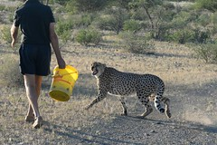 Hungry Boys (zenseas) Tags: africa wild vacation pet holiday boys raw feeding action brothers eating hunger cheetah hungry ambassador saddam growl namibia rawmeat keetmanshoop gaddafi acinonyxjubatus stomachgrowling quivertreeforest hungryboys quivertreeguesthouse