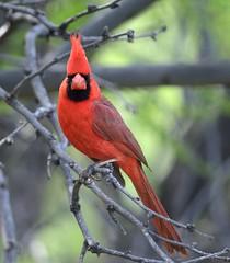 Northern cardinal (canuck4everr) Tags: cardinal northern cardinaliscardinalis northerncardinal
