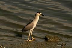 IMG_3026 (rajashekarhk) Tags: birds backwaters beauty nightheron nature southindia chennai travel tamilnadu rajashekar hkr birdlife birdphotography