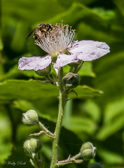 Bee on blackberry blossom (waledro) Tags: plant nature blackberry blossom bee buttertubs