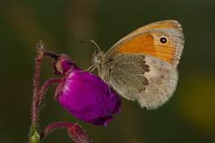 Coenonympha pamphilus (JoseDelgar) Tags: mariposa insecto coth coenonymphapamphilus contactgroups josedelgar sunrays5