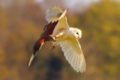 AMBUSH!!! (jammo s) Tags: bird nature wildlife raptor owl vole barnowl kestrel birdofprey ambush bif tytoalba birdinflight falcotinnunculus canonef400mmf56lusm canoneos80d