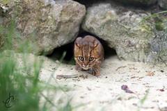 WHF: Nuwara (Sri-Lankan Rusty Spotted Cat) (Jasmine'sCamera) Tags: wildlifeheritagefoundation whf bigcats bigcat rustyspottedcat cat