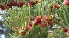 Great Basin NP Pinecones