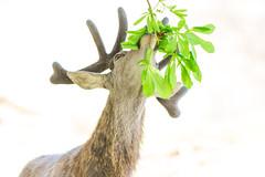 Tree Eating Deer 5 (Vinny Burns) Tags: england canon eos unitedkingdom deer gb 2016 ticknall calkeabbey ef400mmf56lusm 5dmkiii 5dmk3 5d3 5dmarkiii vinnyburns