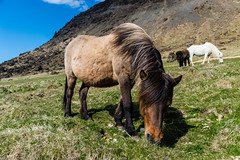 Icelandic Horse I (oncearoundtheworld) Tags: wild horse brown white mountain cute nature beautiful grass animal closeup fur three iceland eyes natural outdoor wildlife small peaceful riding active icelandic