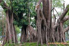 Rubber tree, Parque El Cafetalon, Santa Tecla, El Salvador (ssspnnn) Tags: nunes sansalvador santatecla rubbertree heveabrasiliensis seringueira extrativismo cafetalon canoneos70d palodehule spereiranunes snunes spnunes parqueelcafetalon