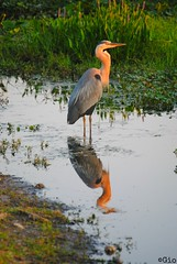 Even Great Blue Herons Love Sunsets (Gio-Photography) Tags: club nikon bokeh dslr d3000