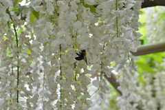 Bee maybe like White (kzmiz) Tags: park flower japan bee koen wisteria tochigi ashikaga ashikagaflowerpark nikond800e hasamacho