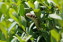 Biacco (Hierophis viridiflavus) - Western Whip Snake (Carla@) Tags: nature canon europa italia wildlife liguria snakes mfcc coth specanimal fantasticnature westernwhipsnake biacco hierophisviridiflavus alittlebeauty coth5 naturallywonderful thesunshinegroup sunrays5 explorenaturethewildnature