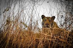 The elusive beast (iamShishir) Tags: india maharashtra nagpur umredkarhandla ukwls