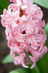 HYACINTH-5263 (Nancy Kirkpatrick Photos) Tags: pink flowers plants plant flower macro nature floral gardens closeup garden spring natural gardening bulbs flowering hyacinth naturalbackground dutchbulbs
