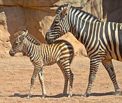 Cebras (madre y cra) en BIOPARC Valencia (Bioparc Valencia) Tags: sabana cebra cebras bioparc sabanaafricana bioparcvalencia cradecebra