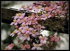 Clematis montana (karin_b1966) Tags: plant flower nature garden natur blossoms pflanze climber blume garten blten 2016 clematismontana kletterer yourbestoftoday