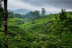 _DSC0937 (Roy Prasad) Tags: travel india workers tea harvest kerala hills prasad devan munnar kannan kannandevanhills royprasad