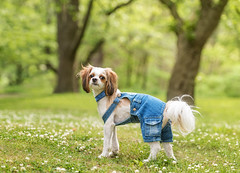 Charlie (Tracy Munson Photography) Tags: park trees dog pets toronto cute animals highpark shihtzu denim clover gta petportrait petphotography dogwearingclothes dogwearingoveralls