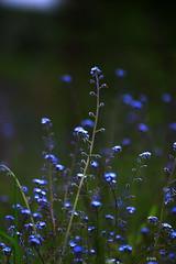 blue (gshaun12) Tags: blue flower macro nature bokeh fantasticnature macrodreams