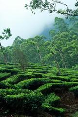 Tea Gardens' Terraces (cash-if) Tags: garden tea terraces cash teagarden munnar